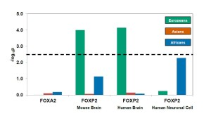 Two of the three sets of FOXP2-regulated genes identified by genomic screens in mouse brain and human brain show signals of positive selection in Europeans, illustrated by the green bars extending above the critical threshold (dotted line). As a control, FOXA2-regulated genes, whose expression is regulated by a different transcription factor, do not show such a signal of positive selection in any population. [doi: 10.1016/j.ajhg.2013.03.019]