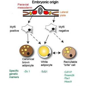 Overview of embryonic origin of brown, brite and white adipocytes. Credit: DOI: 10.1530/JME-13-0158