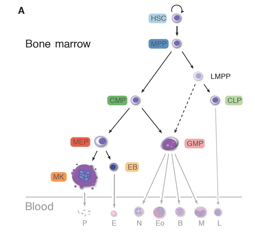 Drawing a blueprint for blood cells wellcome sanger institute blog figure from paper 3 the journey hematopoietic stem cells take as they mature and differentiate malvernweather Image collections