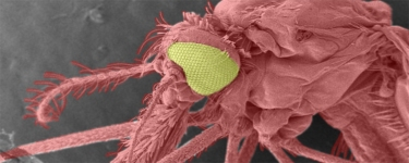 Mosquito in close up. Image credit: CDC/Dr Paul Howell