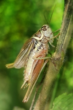 Bush crickets have issues #2 - they have cannibal tendencies. Image credit: Richard Bartz