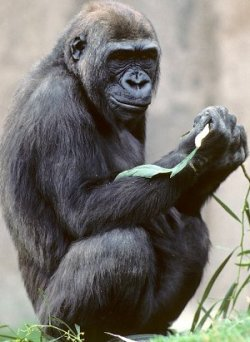 Kamilah the gorilla. Image courtesy of San Diego Zoo. To read about our work with the gorilla genome, please click the image