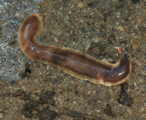 New Zealand flatworms will explode if you freeze them - not terribly helpful when trying to extract DNA from samples... Image Credit: S. Rae, Wikimedia Commons